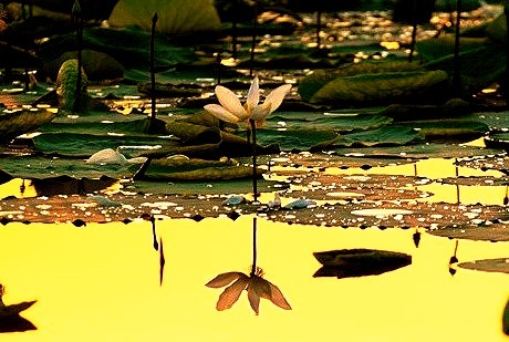 Lily, Sukhna Lake, Chandigarh, India
