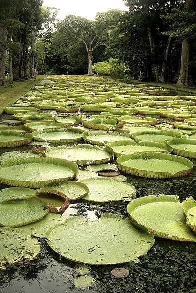 Lily pads at Pamplemousses Botanical Garden / Mauritius